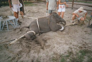 The use of bullhooks on elephants
